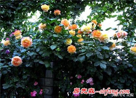 如何让家里的月季花持续的开花?