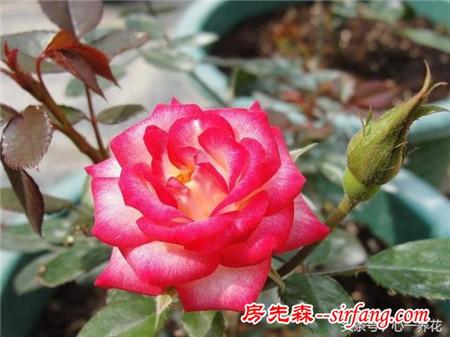 老花友总结的盆栽月季养护经验:就这五点能让花开得更大、艳、美