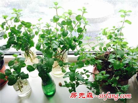 这个室内植物漂亮又好养,最重要的是可以吃