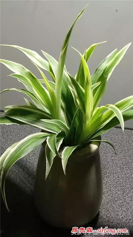 专治雾霾的绿植吊兰:堪比空气净化器