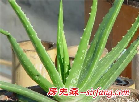 盆栽的黄金搭档:芦虎组合,让净化空气效果倍增