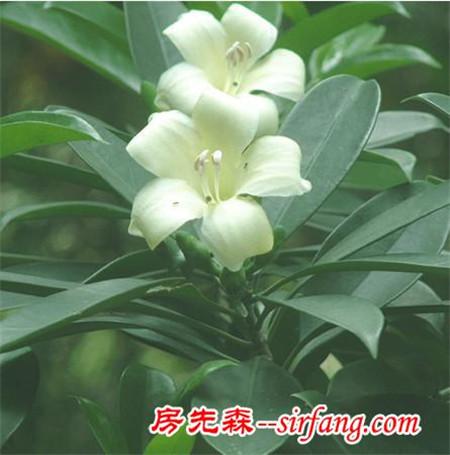 50种常见室内盆栽绿化植物知识大全(第八集)
