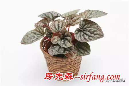 植物墙植物选择之邹叶椒草