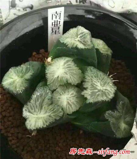 十二卷属 奇特又昂贵的多肉植物