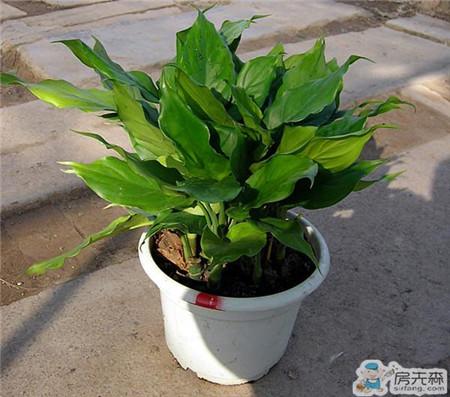 家居风水植物介绍  植物对家居风水影响很大