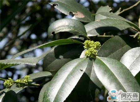 大叶冬青的种植方法 大叶冬青的生长习性