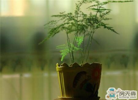 文竹怎么养 文竹养殖注意事项