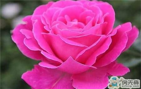 月季花嫁接方法 多种养殖方法详解