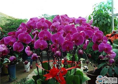 蝴蝶兰花如何护养 这样养花花更美