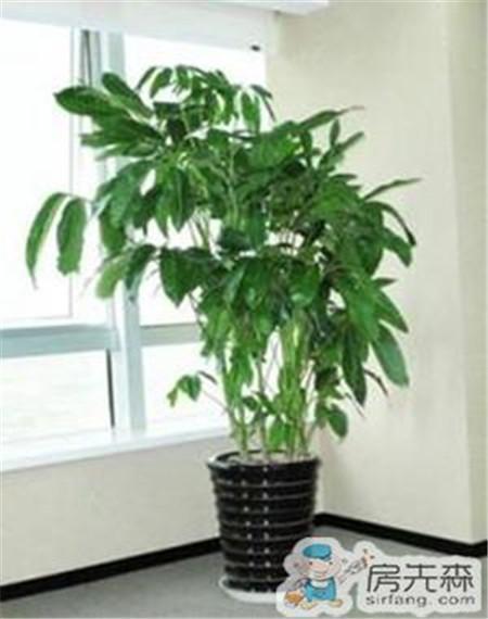 招财树的养殖方法 改善家居风水提高财运